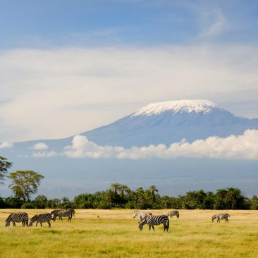 A herd of Burchell's zebras feed on a grassy clearing beneath the peaks of Mt Kilimanjaro.
