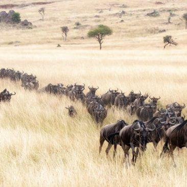Days Migration Safari – North Serengeti